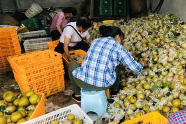重庆永川吉安镇2万余亩梨子未来50天陆续上市