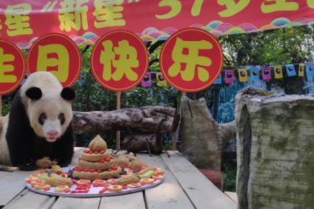 """现存最长寿圈养大熊猫""""新星""""迎37岁生日 其后代超130只"""