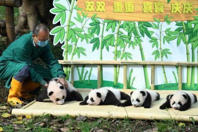 """""""双重喜庆""""lovebet app动物园两对双胞胎大熊猫正式命名"""