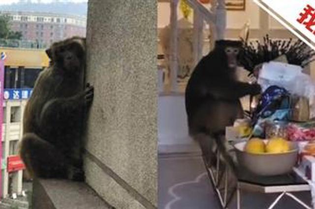 猴子现身重庆主城居民楼 进屋里吃零食毫不客气(图)