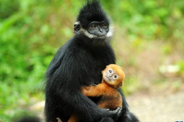 重庆金佛山首次拍摄到正处于变色期的黑叶猴幼崽