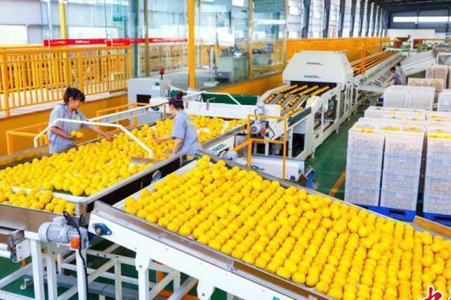 """重庆潼南7万多吨柠檬滞销 政府出手纾解农企""""燃眉之急"""""""