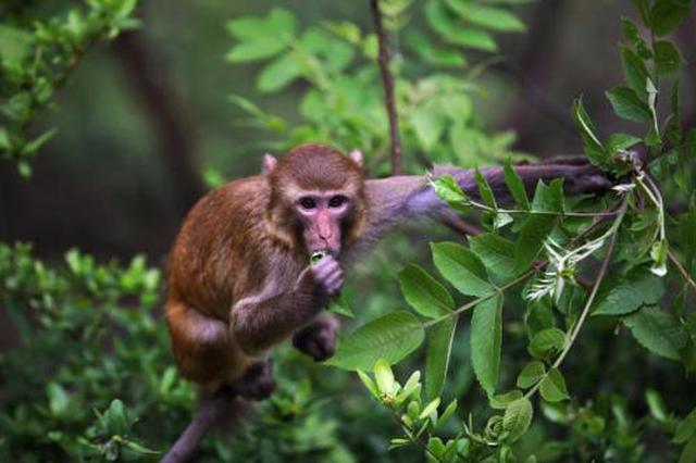 重庆忠县再现野生猕猴!不怕人还调皮地扭头打望