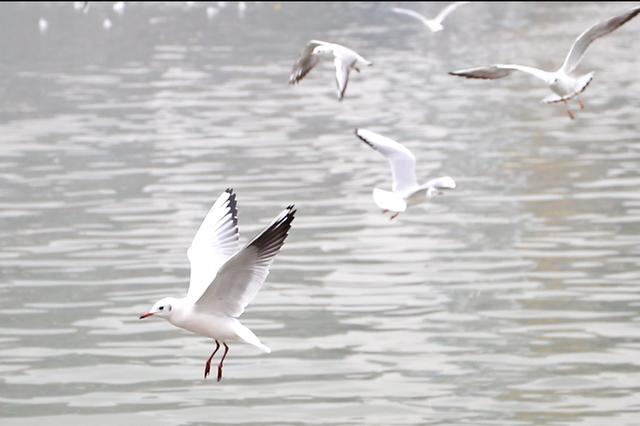红嘴鸥光临渝东北的这片湿地公园 好多市民来打卡