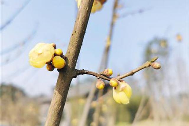 广阳岛正月初二开放 预约去赏梅花吧