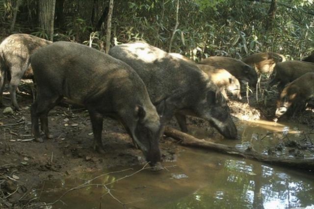 一家子就要整整齐齐!两只野猪带着10只小野猪觅食