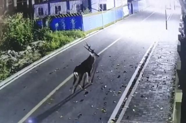 一只鹿凌晨跑进重庆高校 网友:夜间上课的鹿(图)