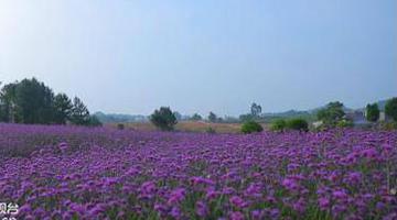 重庆这里的马鞭草已盛放