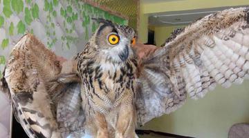 猫头鹰误入居民楼 翅膀撑起一米长