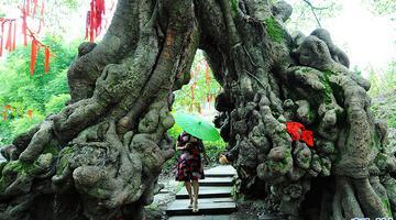 重庆最大的黄葛树在这里 快来打望