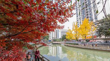 银杏叶与枫叶交织 南川城区美如画