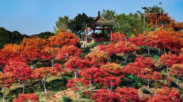 重庆春季红枫惊艳绽放 层林尽染