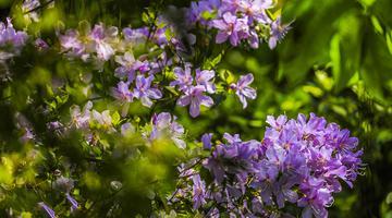 重庆梁平:紫杜鹃花开山间美如画卷
