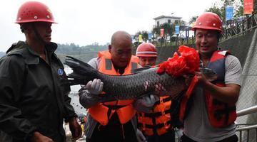 重庆捕获鱼王 重达41斤