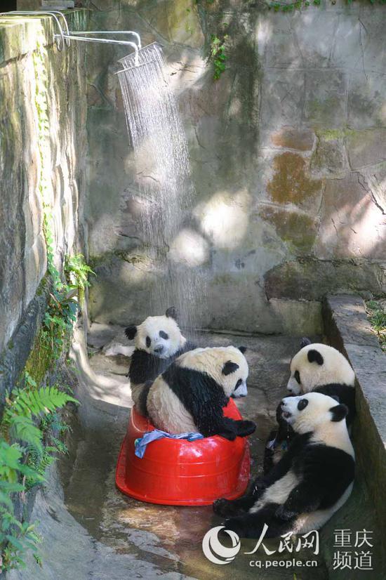 """8月4日,重庆动物园,四只熊猫""""滚滚""""淋浴消夏。邹乐 摄"""