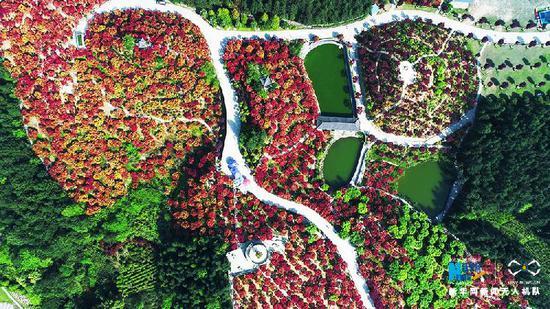 航拍重庆五洲园红枫林 层林尽染美到心醉[组图]