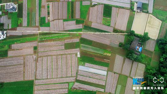 航拍lovebet app绿色有机蔬菜基地 绘就致富画卷[组图]