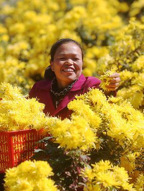 重庆:金秋时节好采菊