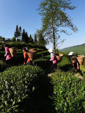 重庆酉阳3000余亩高山乌龙茶开采