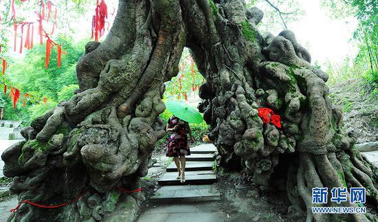 重庆最大的黄葛树在哪里 这本摄影集告诉你