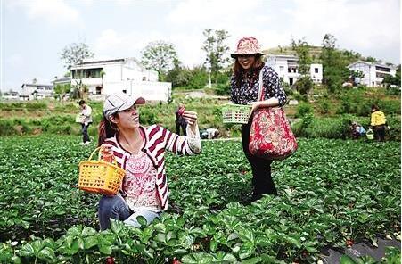 綦江,游客在采摘草莓。 王宏兴 摄