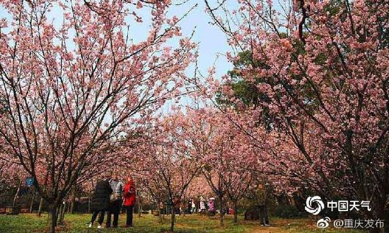 重庆南山早樱盛开繁花似锦 引众多游客赏花(图)