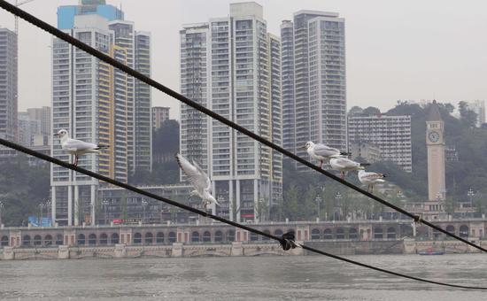 真美!红嘴鸥到访重庆朝天门 市民前来合影喂食(图)