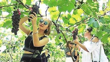 游客在采摘葡萄 受访者供图