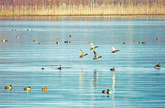 渚清沙白鸟飞回 汉丰湖迎来大量冬季候鸟