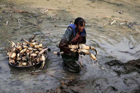 重庆女工冰水中挖藕 每天挖得比男工还多