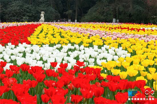 航拍重庆花卉园 数万株郁金香迎春盛放