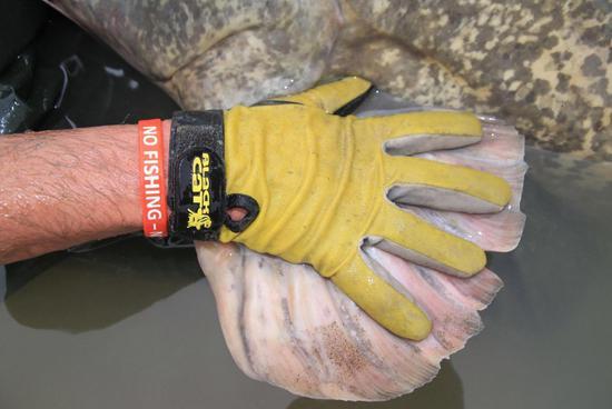 男子钓到260斤大鲶鱼 花45分钟才拉上岸