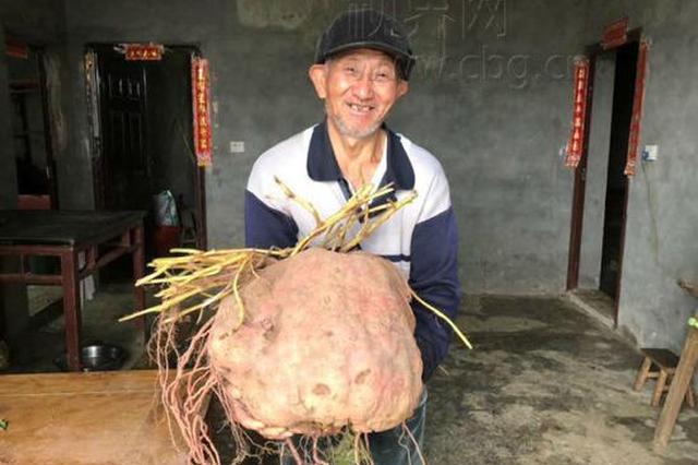 重庆一村民连续两年种出超级大红苕 重40斤