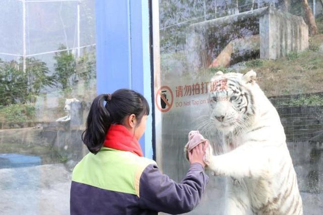 """重庆一动物园""""劳模""""白虎 模仿饲养员""""擦玻璃"""""""