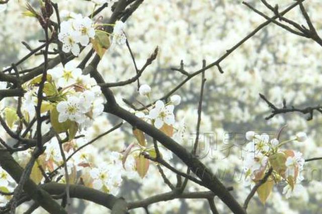 九龙坡:千亩梨山花绽放 正当佳时引客来