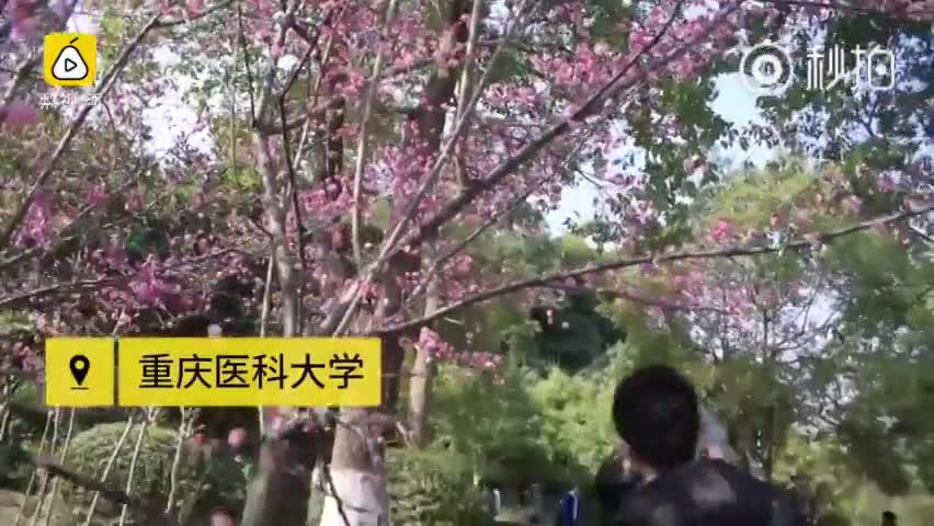 花都开好了 重庆各大高校成?#31361;?#22307;地