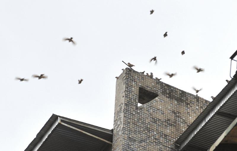 9月13日,成都芳华街,天空中许多小鸟在盘旋。