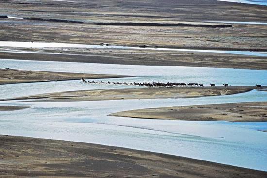 烟瘴挂峡谷的上下游都有大量的白唇鹿种群,尤其是峡谷以上100公里的通天河上游,这里大片平阔的河滩,是白唇鹿交配的场地。每年10月,有超过500只的白唇鹿在这里角斗、求偶、交配、嬉戏。角斗胜利的雄鹿,会得到几头母鹿的青睐——然后,它们就在这里交配,孕育生命。不过,失败的雄鹿也并不灰心丧气,它们会在来年重整旗鼓,再战一番。