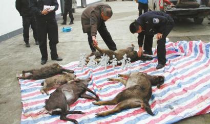 2014年11月19日,芦山县森林公安局查获7只被猎杀的野生保护动物。