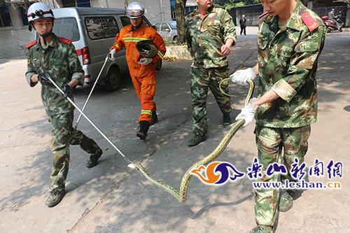 大花蛇闯入小区