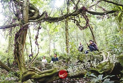 藤王延展面积近4亩,在林间形成一张巨网。