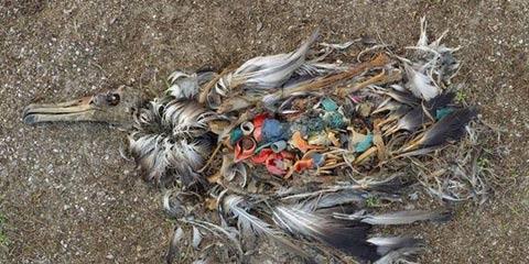 动物心酸照:吃塑料而亡的鸟儿