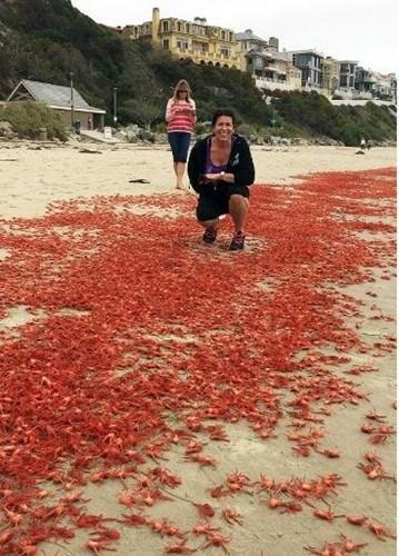 受厄爾尼諾現象影響 小紅蟹爬滿南加沙灘