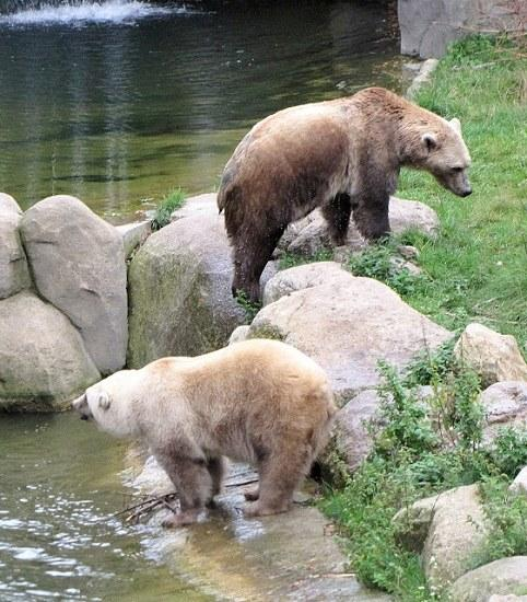 """棕熊北極熊交配生下""""黑白熊雙胞胎"""""""