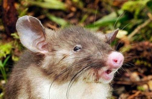 老鼠长着猪鼻子 印度尼西亚惊现未记载哺乳动物-印度尼西亚现新物种 图片