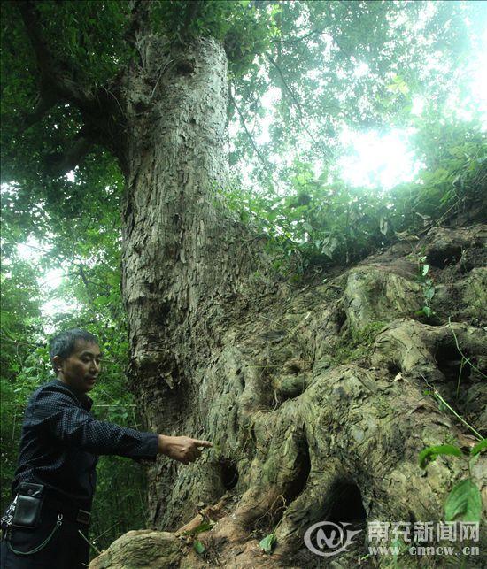 南充400年古树花开似飞蛾