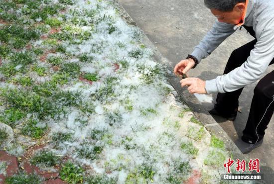 """资料图:垂柳大量飞絮,宛如""""四月飘雪""""。刘家 摄"""