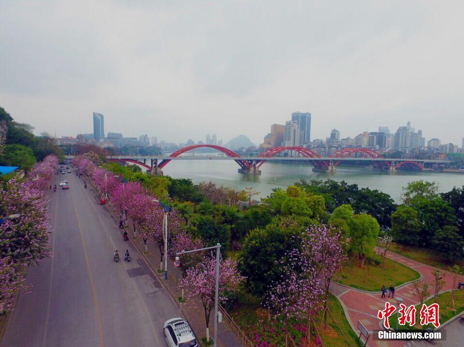 广西柳州20万株紫荆花盛放 变身花园城市(图)