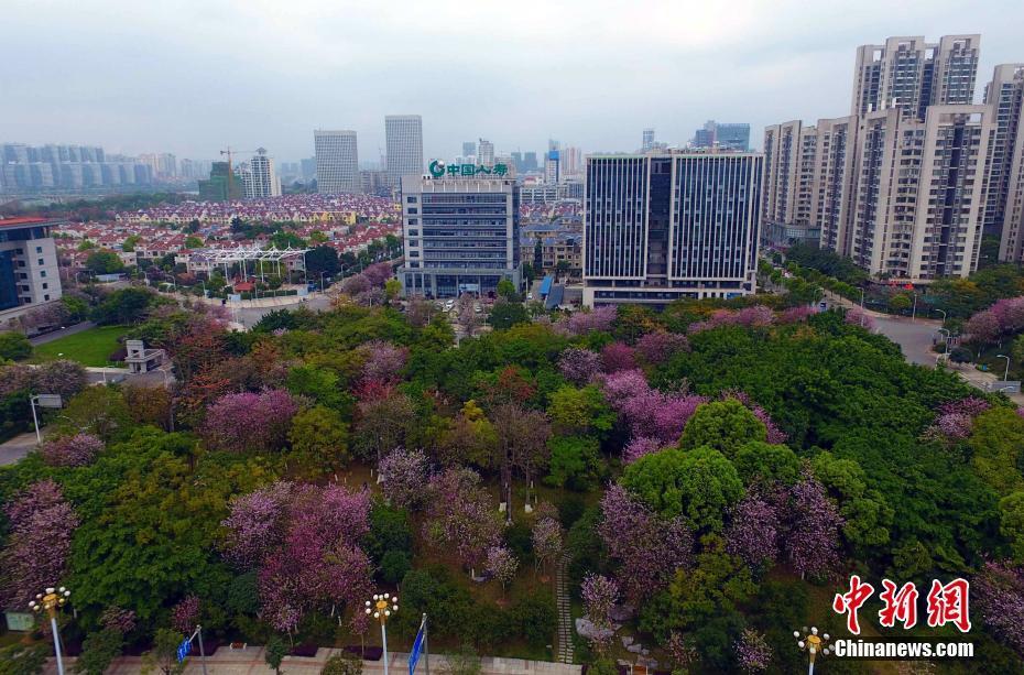 满城紫荆花开,柳州变身为花园城市。 王以照 摄