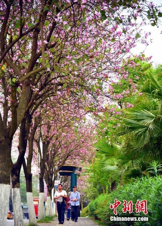 民众在紫荆花下漫步。 朱柳融 摄